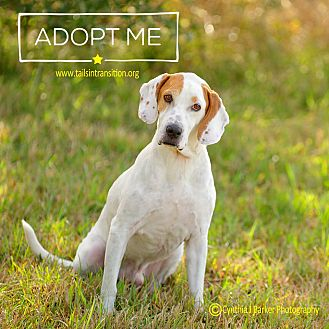Treeing Walker Coonhound/Hound (Unknown Type) Mix Dog for adoption in Friendswood, Texas - Gumbo