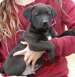 Labrador Retriever/Border Collie Mix Puppy for adoption in West Sand Lake, New York - Dodger (8 lb) Video!