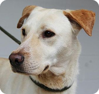 Labrador Retriever Mix Dog for adoption in Washington, D.C. - Claire
