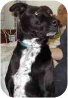 Labrador Retriever/Pointer Mix Dog for adoption in Smithtown, New York - Sad Eyes:(