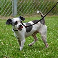 Adopt A Pet :: Iggy - DuQuoin, IL