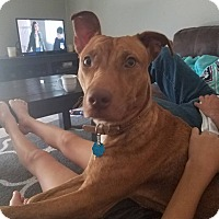 Adopt A Pet :: Deva - Burleson, TX