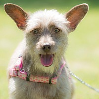 Adopt A Pet :: Sandy - San Diego, CA