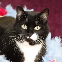 Adopt A Pet :: Cleopatra - Bristol, IN