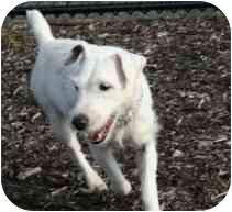 Jack Russell Terrier Dog for adoption in Long Beach, New York - Sadie