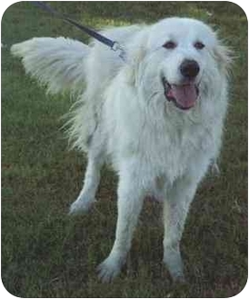Great Pyrenees Dog for adoption in Kyle, Texas - Marlow-pending