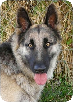 German Shepherd Dog Mix Dog for adoption in Los Angeles, California - Tara von Teitelbaum