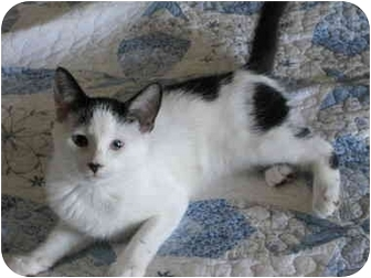 Domestic Shorthair Kitten for adoption in Charlotte, North Carolina - Maggie Moo