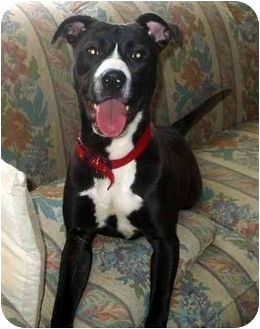 American Pit Bull Terrier/Border Collie Mix Puppy for adoption in Troy, Michigan - Patsy