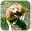 Photo 2 - American Pit Bull Terrier Dog for adoption in Gainesboro, Tennessee - Icey