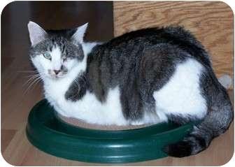 Domestic Shorthair Cat for adoption in Prescott, Arizona - Auggie