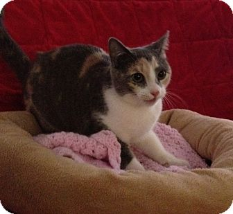 Calico Kitten for adoption in Simpsonville, South Carolina - Colleen