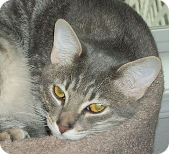 Domestic Shorthair Cat for adoption in North Highlands, California - Jax
