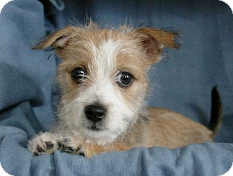 Wirehaired Fox Terrier/Jack Russell Terrier Mix Puppy for adoption in Sacramento, California - Daphne