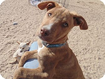 Staffordshire Bull Terrier Mix Puppy for adoption in Las Cruces, New Mexico - Chip