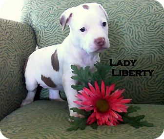 American Staffordshire Terrier Mix Puppy for adoption in Higley, Arizona - LADY LIBERTY