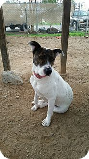 Pointer/American Staffordshire Terrier Mix Dog for adoption in San Diego, California - JOILEE