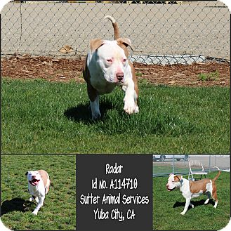 American Pit Bull Terrier Mix Dog for adoption in Yuba City, California - 02/10 Radar