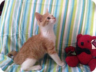 Domestic Mediumhair Kitten for adoption in Mansfield, Texas - Spitfire