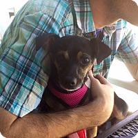 Adopt A Pet :: Bella - North Hollywood, CA