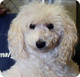 Poodle (Miniature) Dog for adoption in McDonough, Georgia - Dolly