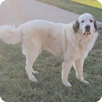 Great Pyrenees Dog for adoption in Glastonbury, Connecticut - Sugar Bear