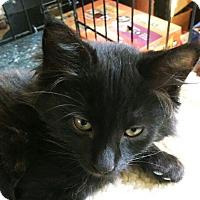 Adopt A Pet :: Santana - N. Billerica, MA