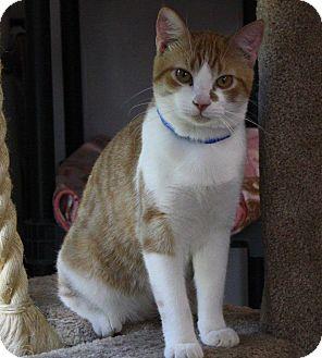 Domestic Shorthair Cat for adoption in Joplin, Missouri - Ozzie