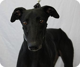 Greyhound Dog for adoption in Carol Stream, Illinois - WW's Linebacker