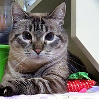 Domestic Shorthair/Domestic Shorthair Mix Cat for adoption in Columbia, South Carolina - Abby