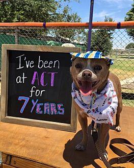 Chihuahua Mix Dog for adoption in Fresno, California - Casanova