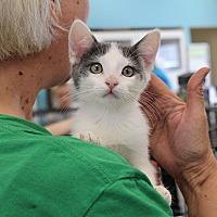 Adopt A Pet :: Capri -gives kisses - Studio City, CA