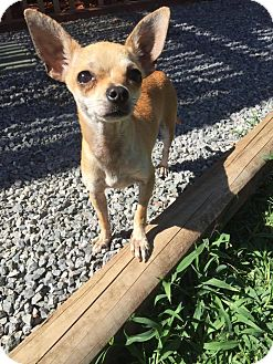 Chihuahua Mix Dog for adoption in Yuba City, California - Pebbles