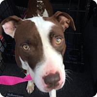 Hound (Unknown Type)/Terrier (Unknown Type, Medium) Mix Dog for adoption in Media, Pennsylvania - ENDORA