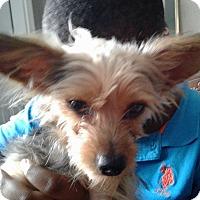 Adopt A Pet :: YORKIE - Hollywood, FL