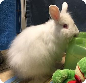 Jersey Wooly Mix for adoption in Woburn, Massachusetts - Peter