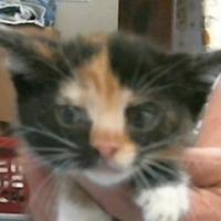 Adopt A Pet :: 653245 - Bakersfield, CA