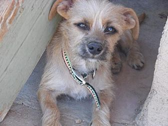 Terrier (Unknown Type, Medium) Mix Dog for adoption in Apple Valley, California - Boboli-see his look-a-like Lilly!
