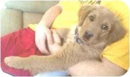 Golden Retriever Mix Puppy for adoption in Proctorville, Ohio, Ohio - Goldie