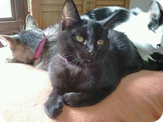 Domestic Shorthair Cat for adoption in Grand Rapids, Michigan - Dove