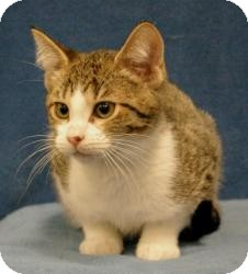 Domestic Shorthair Cat for adoption in Sacramento, California - Howie