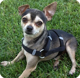 Chihuahua Mix Dog for adoption in Poway, California - DUKE