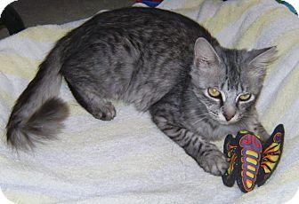 Domestic Mediumhair Cat for adoption in Delray Beach, Florida - Kenia