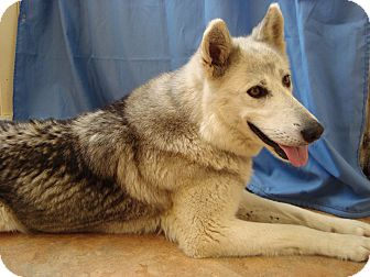 Husky Mix Dog for adoption in Youngwood, Pennsylvania - Nikki