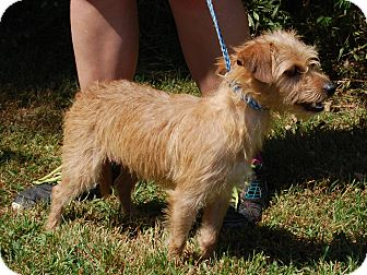 Cairn Terrier Mix Dog for adoption in North Judson, Indiana - Rocco
