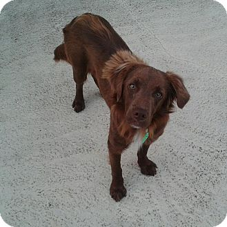 Retriever (Unknown Type)/Nova Scotia Duck-Tolling Retriever Mix Dog for adoption in Largo, Florida - Dustin