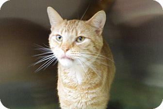 Domestic Shorthair Cat for adoption in Elyria, Ohio - Oscar