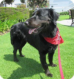 Labrador Retriever/Flat-Coated Retriever Mix Dog for adoption in Los Angeles, California - ROXY