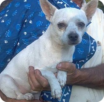 Chihuahua Mix Dog for adoption in Kimberton, Pennsylvania - Valentino
