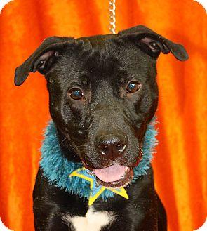 Labrador Retriever/Pit Bull Terrier Mix Dog for adoption in Jackson, Michigan - Rosco